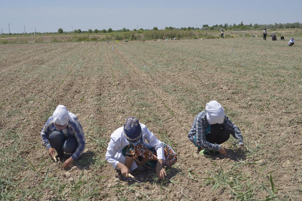 Weeding Cotton Fields